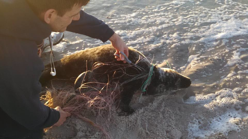 East Atlantic Beach residents Pamela Lanigan and Chuck Basore helped cut free a gray seal caught in a tangled fishing net with two large sinkers attached.