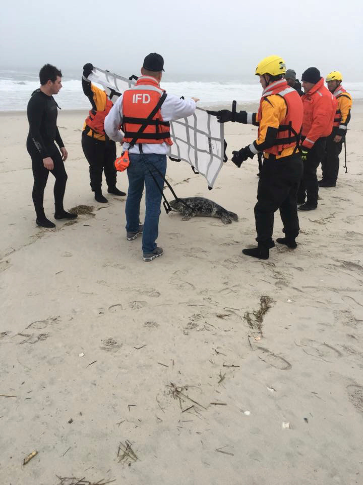 Inwood volunteer firefighters disentangle a harbor seal from debris and helped guide it back into the waters off Atlantic Beach earlier this month.