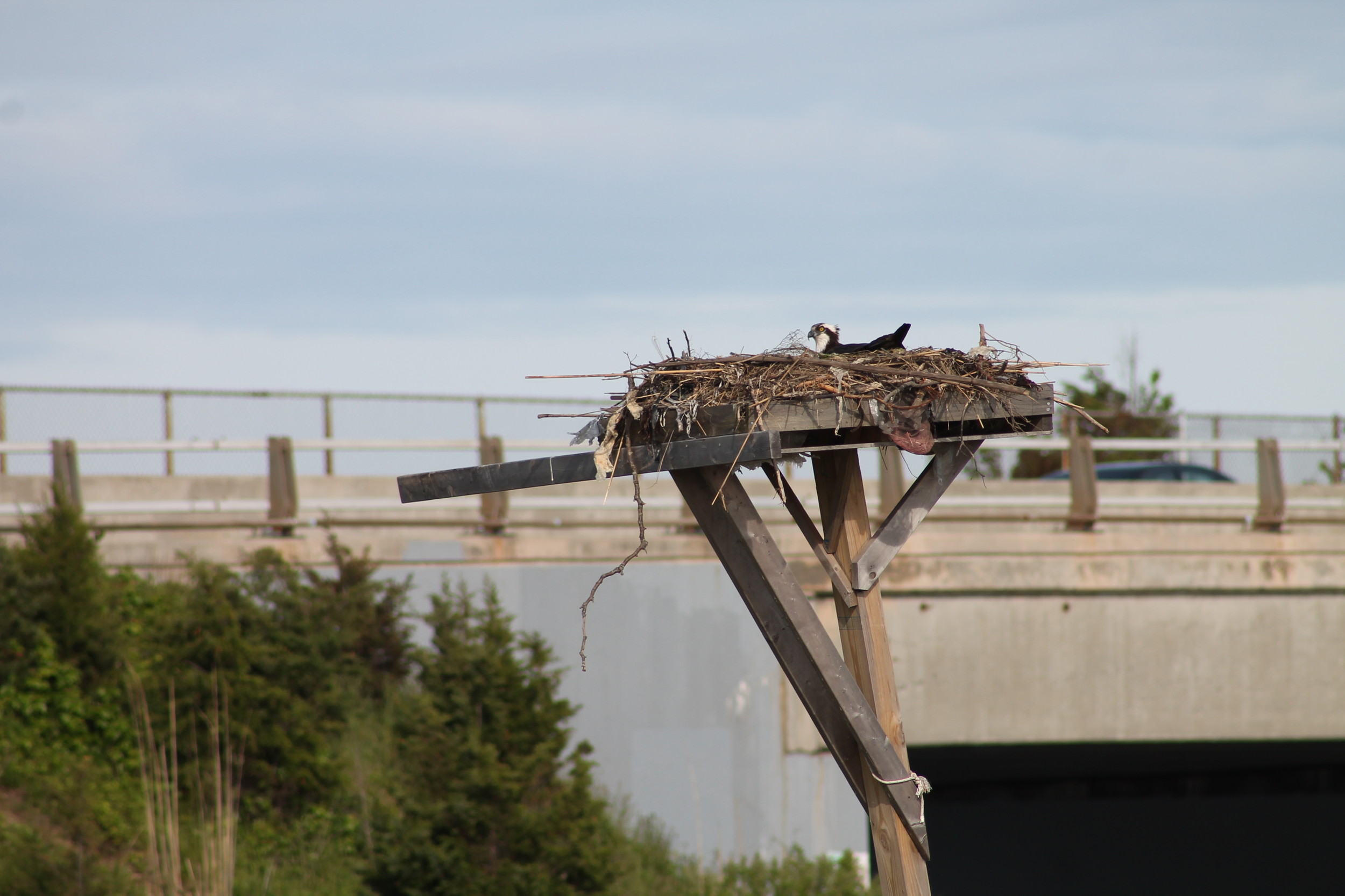 A mother osprey protected her eggs on a nesting platform in Wantagh Park.