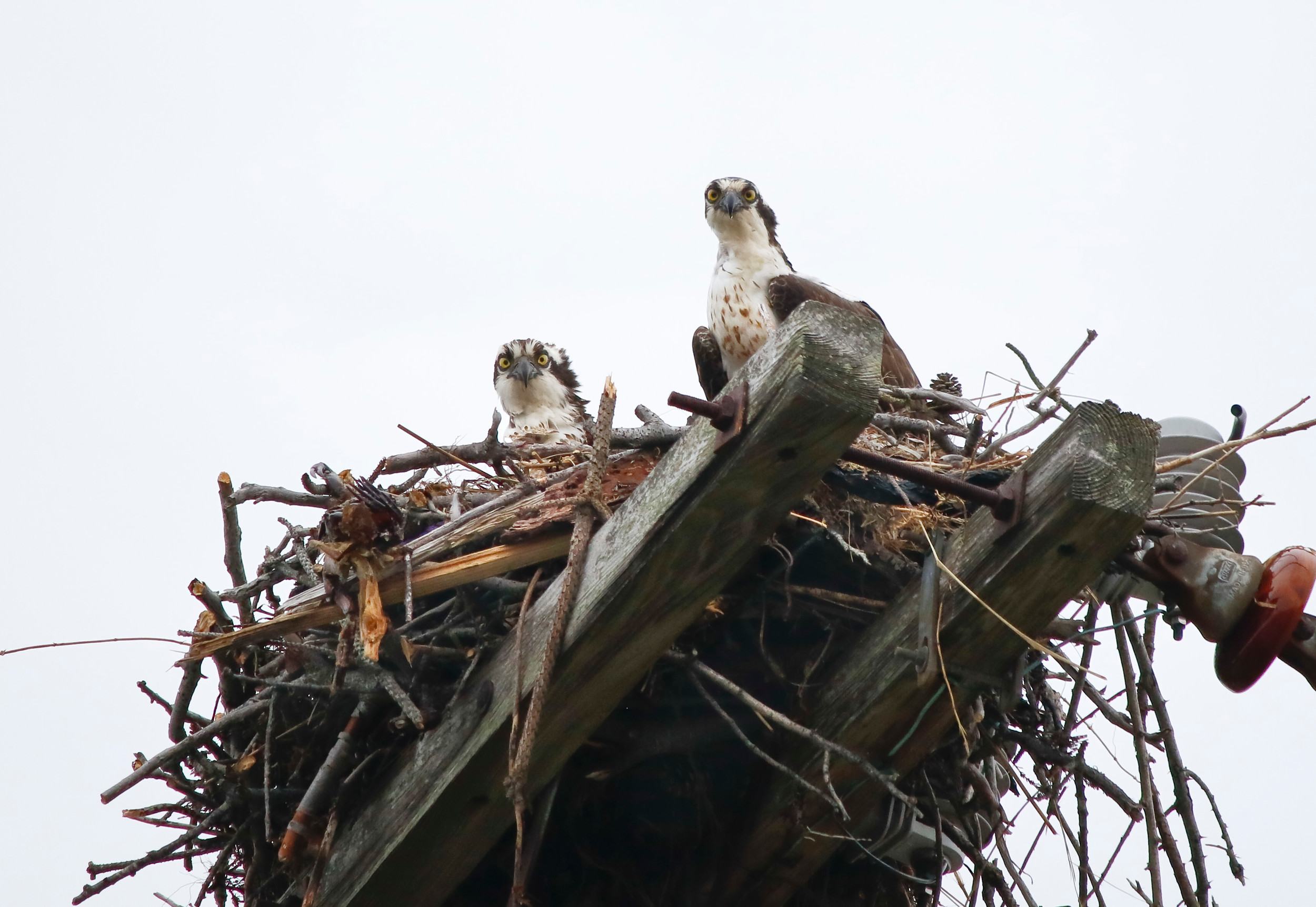 A breeding pair of osprey have made their home on a nesting platform at the Oceanside Marine Nature Study Area.