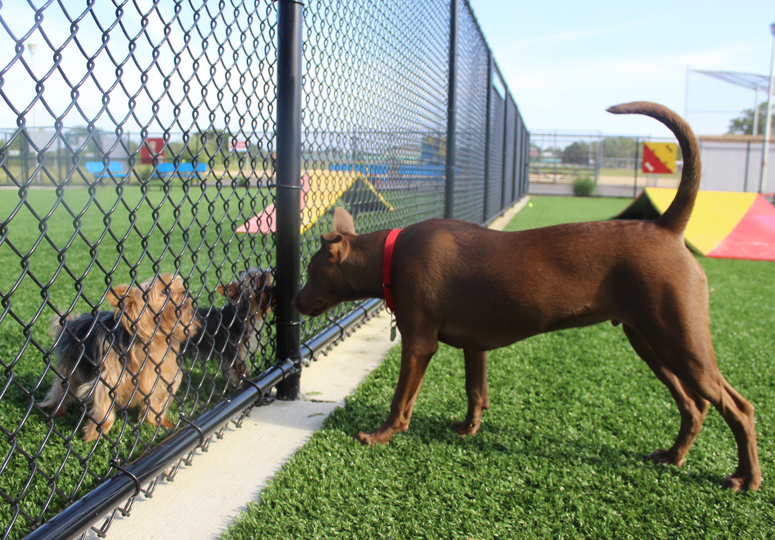 Lance, right, made two little friends in the small dog section of the Town of Hempstead dog park during a visit last week — two Yorkshire terriers from Bellmore, Prince and Brooklyn.