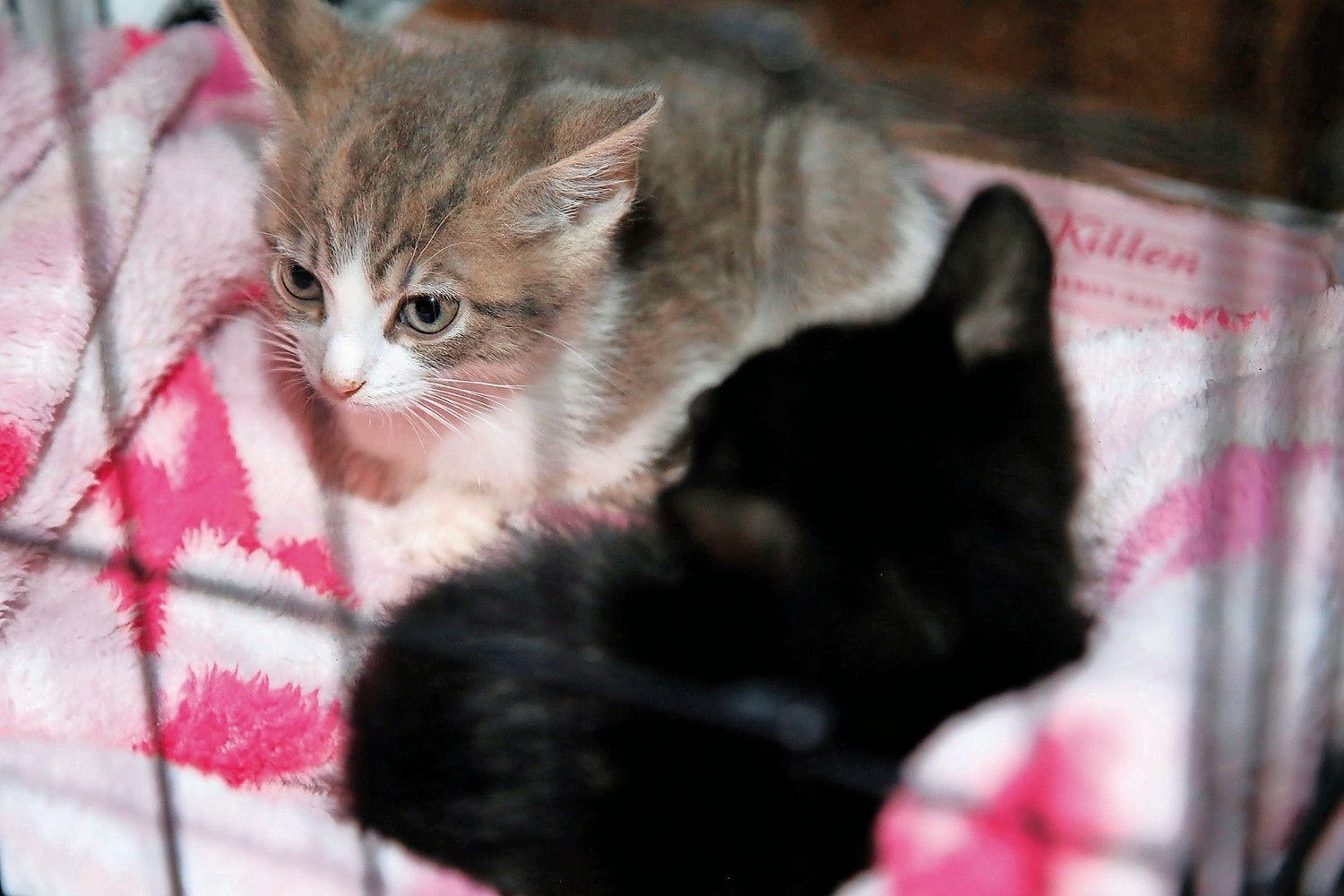 Kittens Aladdin and Ariel were two of several strays rescued by Courageous Cats volunteers.