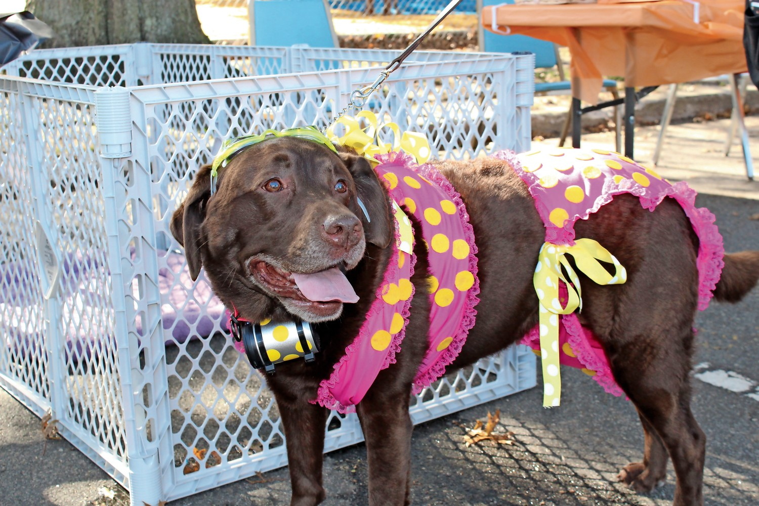 Bella Scala wore a handmade teeny-weeny itsy-bitsy yellow polka dot bikini costume with a stereo on her collar that played the song.