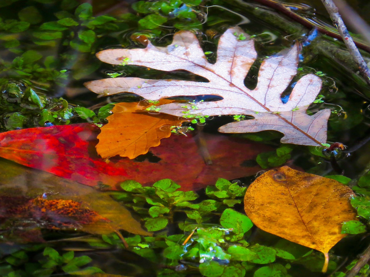 Leaves from the many different trees at Bailey Arboretum have been discarded into the water off Turtle Island.