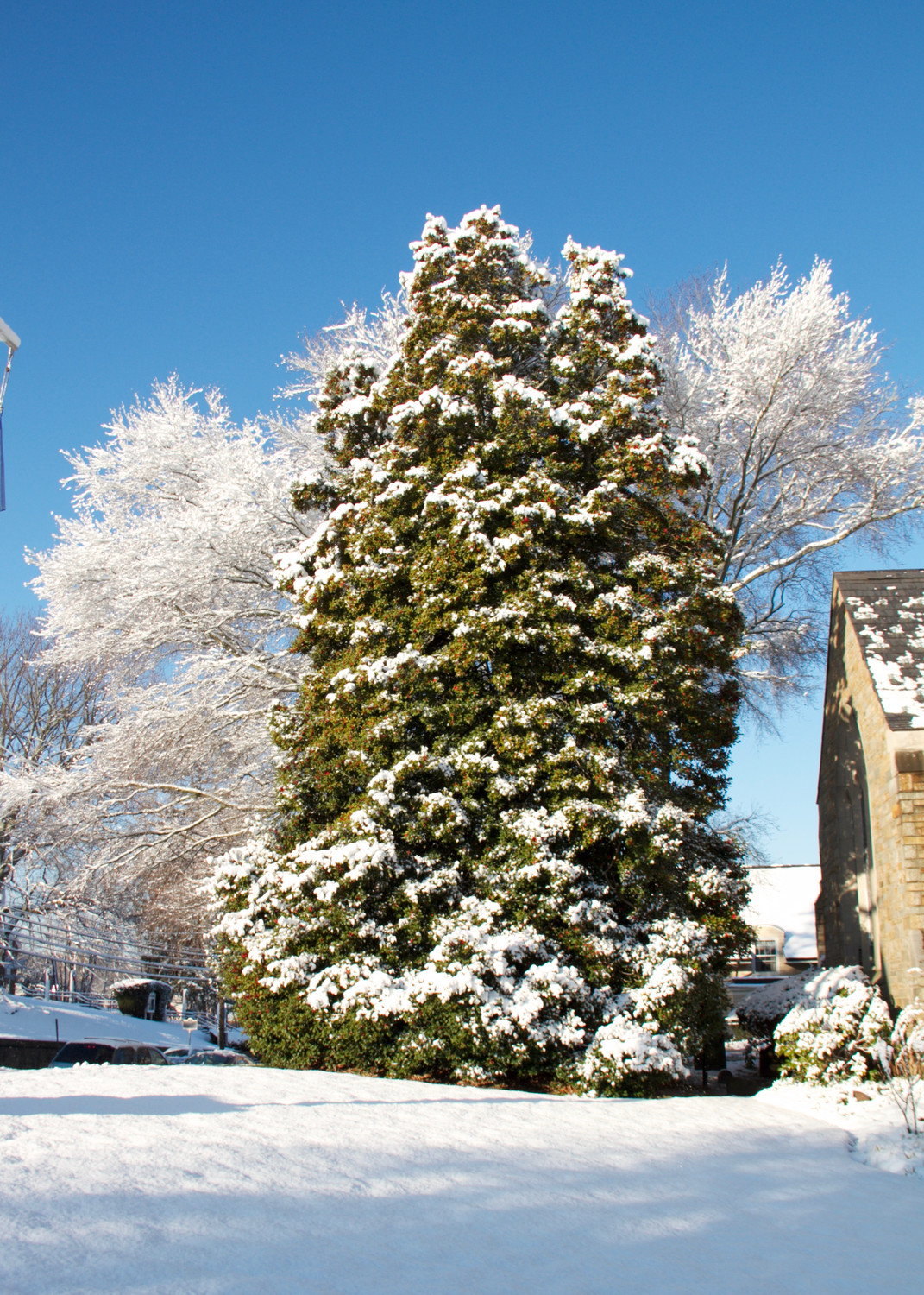 A holly tree in front of Christ Church is accented by snow covered trees surrounding it.