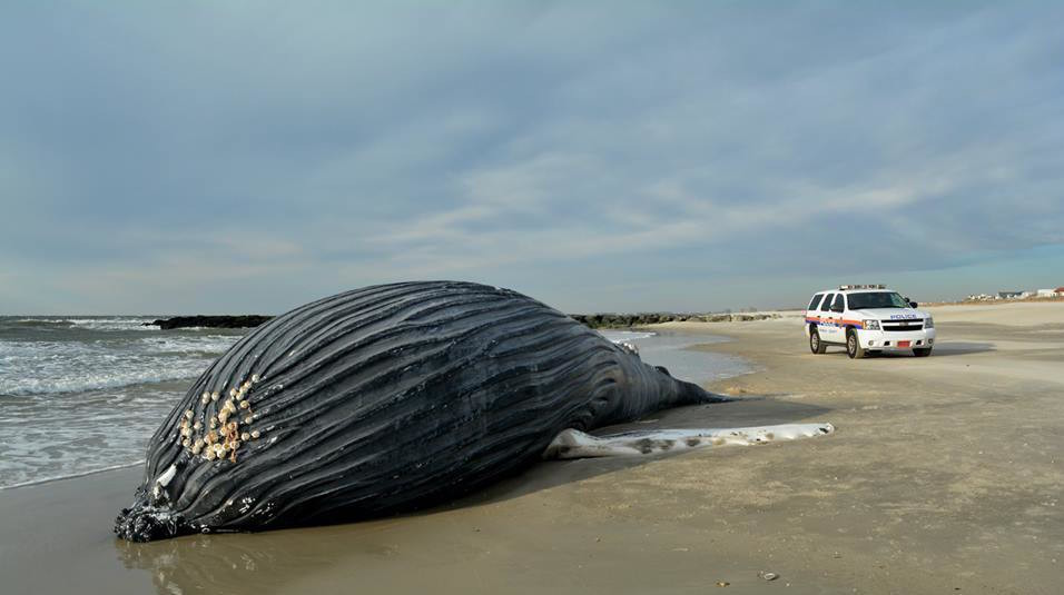 Dead whale washes ashore on Long Island