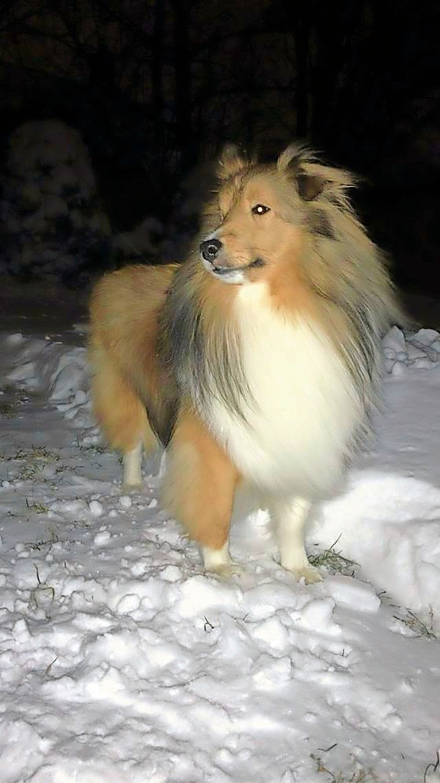 Simba, a shetland sheepdog, braved the winter cold in East Meadow last Thursday.