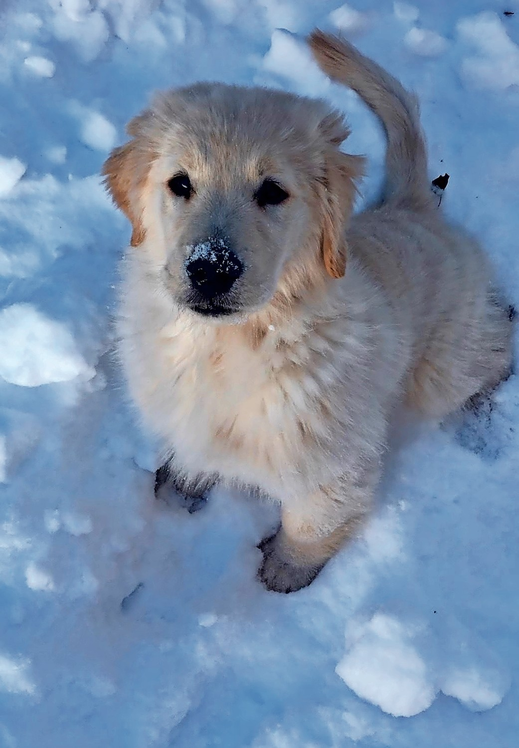Oakley, a 3-month golden retriever puppy, was happy to sniff around in the snow in Wantagh.