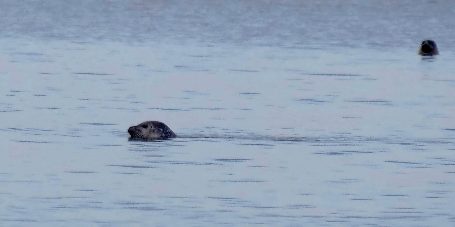 Two harbor seals popped their heads out of the water.