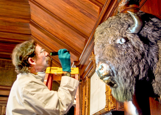 March 30, 2015. Conservator Ron Harvey evaluating the condition of the two Bison/ American Buffalo heads on either side of the hearth in the North Room. This buffalo's eye had fallen out and Ron is working to replace it.