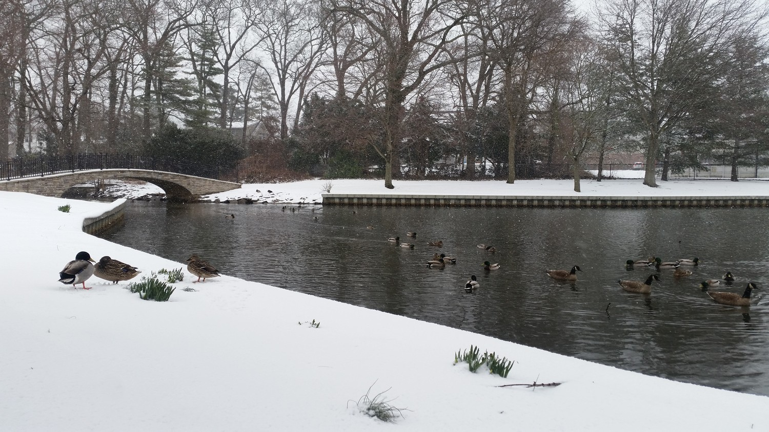 Ducks at Halls Pond Park in West Hempstead braving the inclement weather.