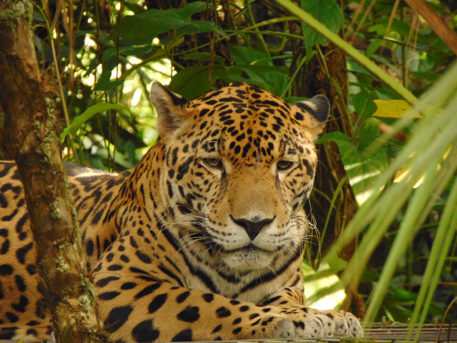 A jaguar named Junior sat peacefully among the trees in the Belize Zoo.