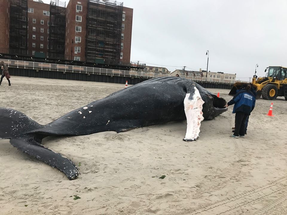 "The 32-foot long female humpback was found beached on Friday afternoon near Lafayette Boulevard beach. Marine experts said the whale was approximately two- to five-years-old and showed ""signs of bruising consistent with vessel strike."""