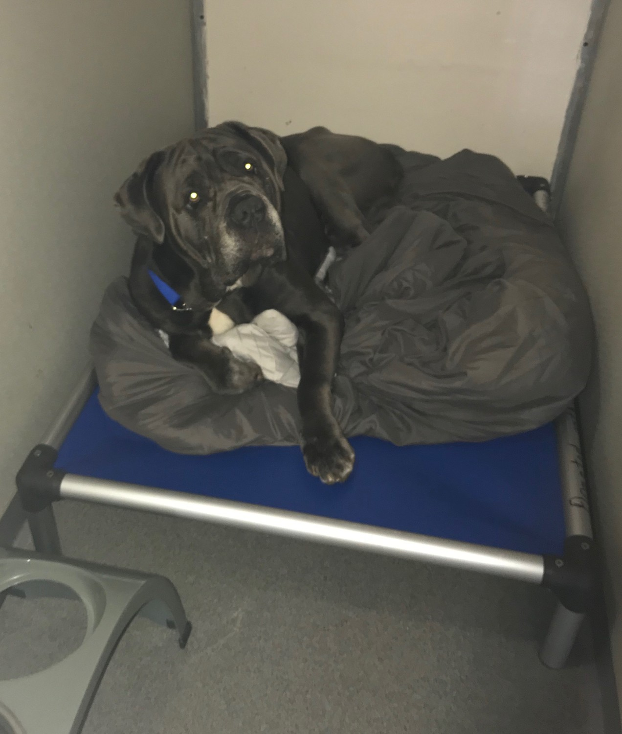 Kane, a Cane Corso, cuddled with his grey blanket on the largest bed that Kuranda makes. The beds allow the dogs to sleep, off the ground.