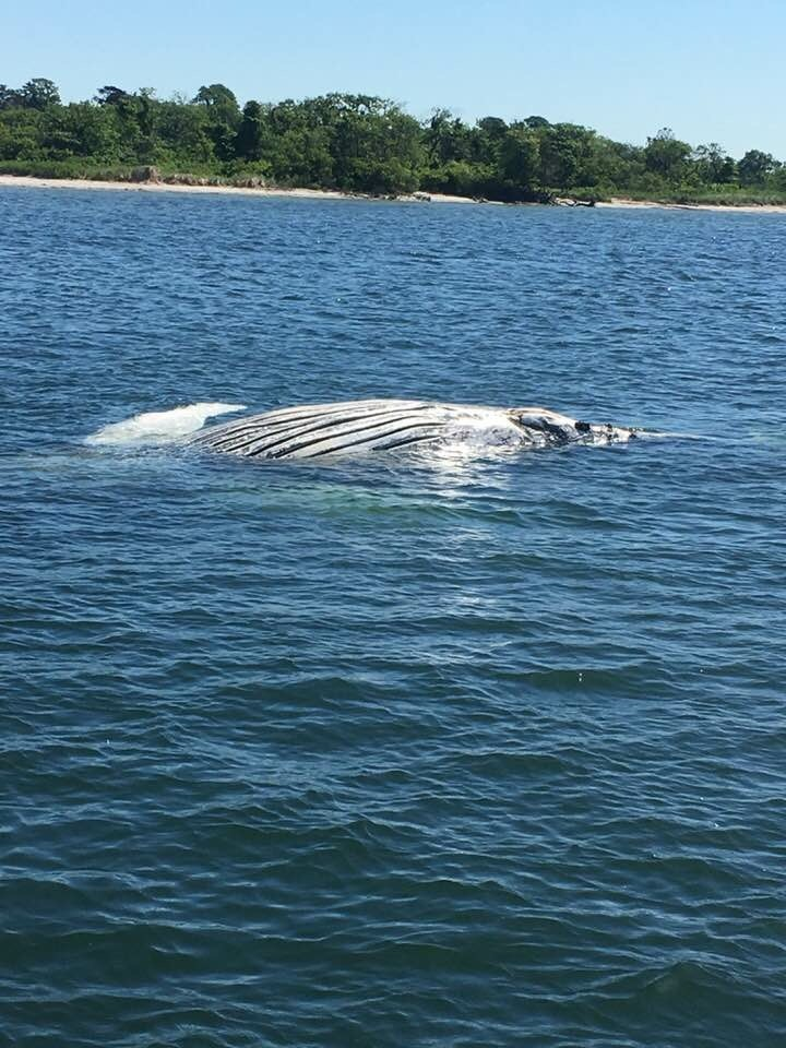 A dead whale was found in the water by the Atlantic Beach Bridge on June 14.