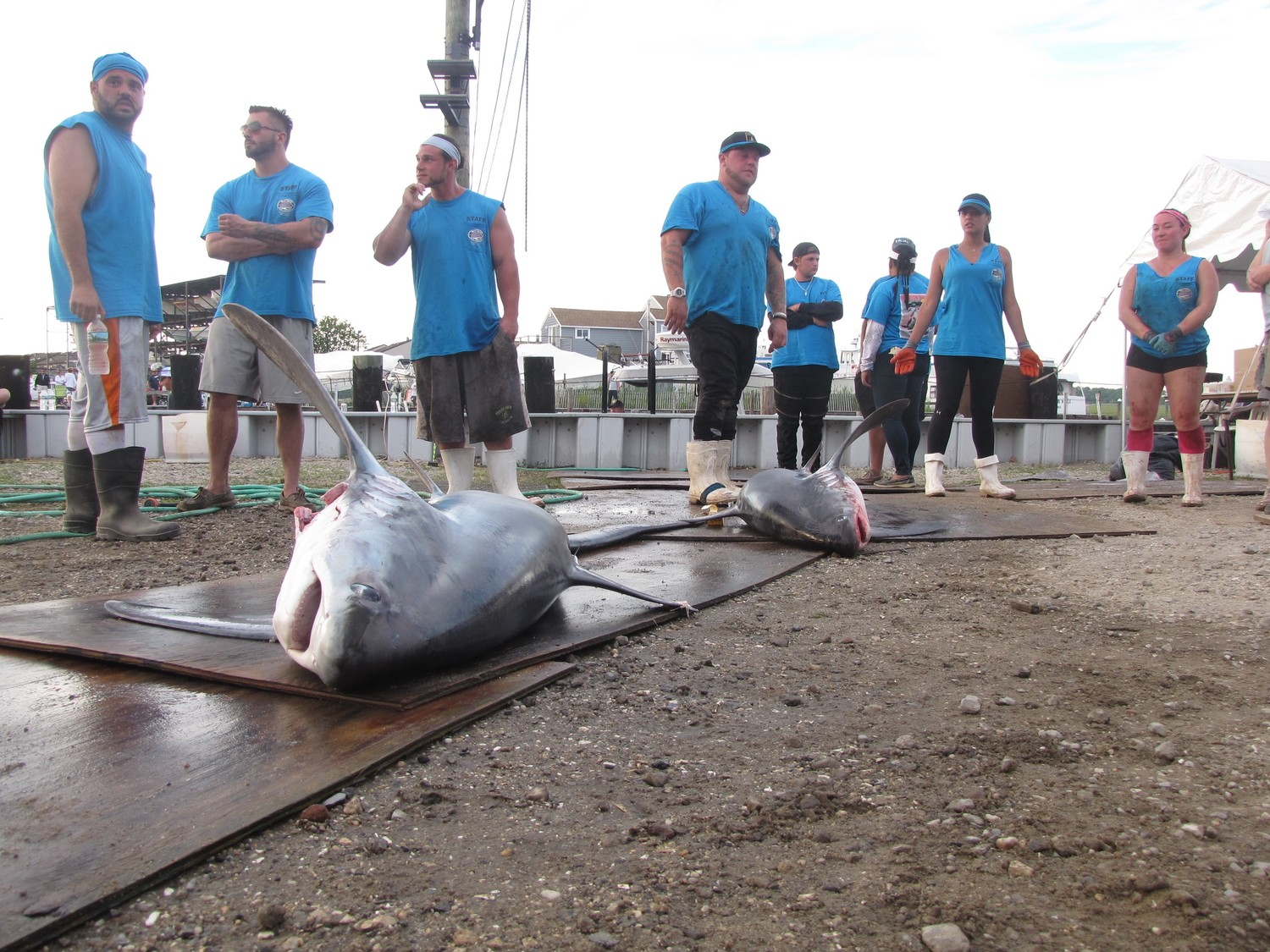Tournament volunteers started weighing and measuring sharks as the boats started arriving at the Guy Lombardo Marina in Freeport on Saturday at 6 p.m.