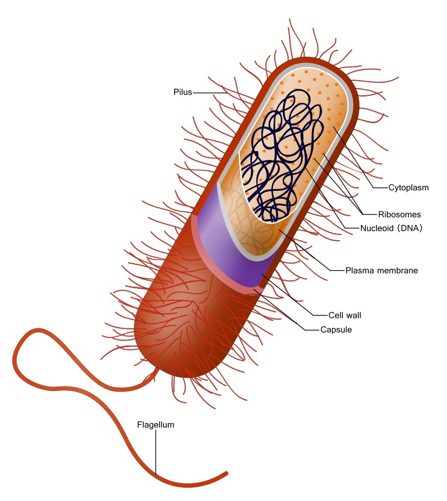 Illustration of the Klebsiella bacterium.