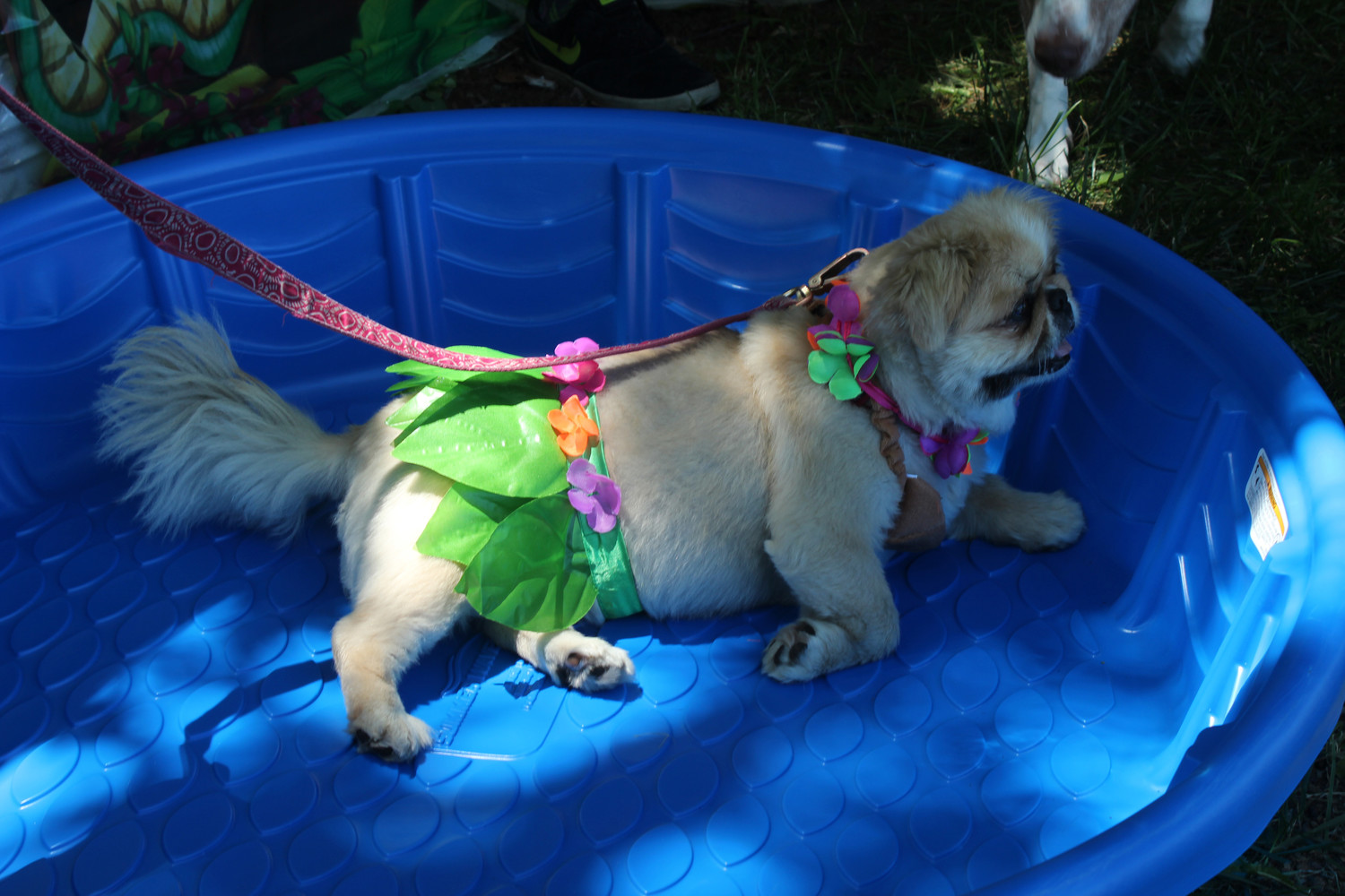Mocha, a nine-year-old Pekingese, lounged in the shade in her flower lei and skirt and coconut bra.