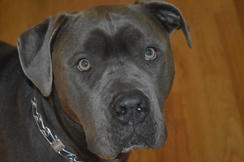 Pit bulls: mean or misunderstood? Oceanside community reacts
