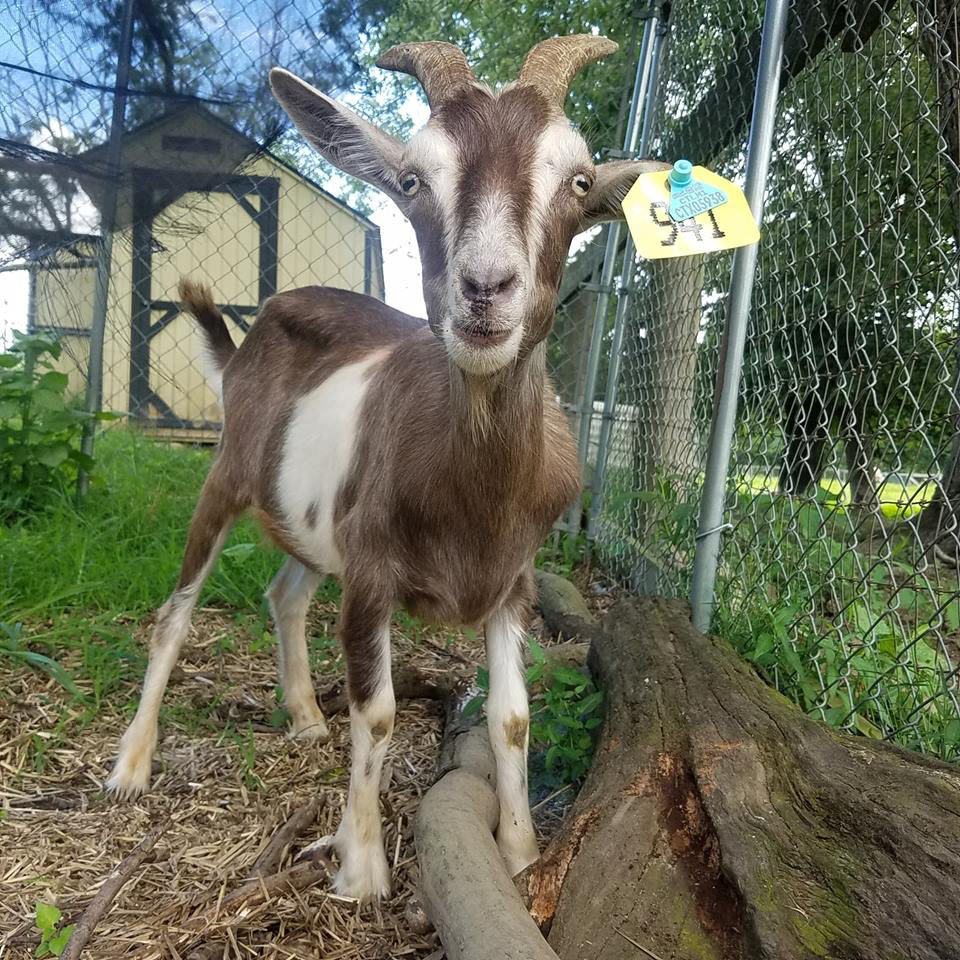 Houdini the goat safe at Chenoa Manor, an animal sanctuary, in Pennsylvania