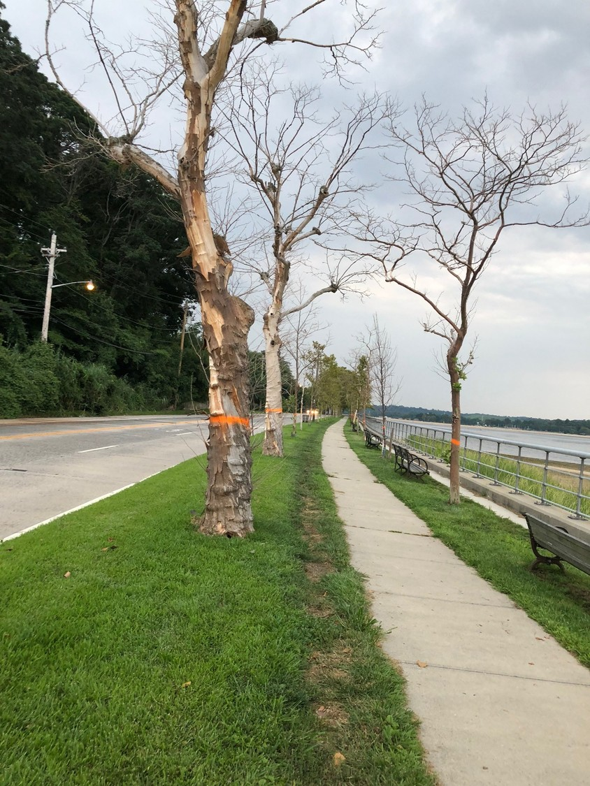 A number of London plane trees, marked with orange paint, were recently removed from the esplanade on Prospect Avenue, near Hempstead Harbor.