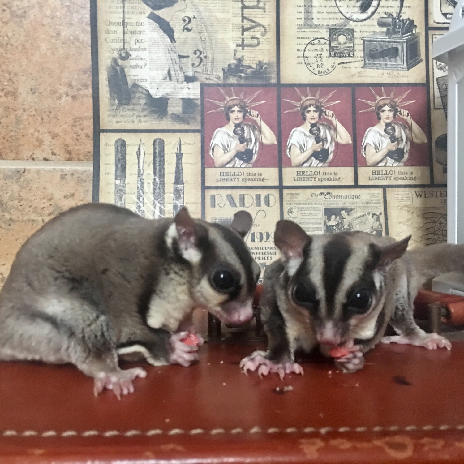 James and Panda are sugar glider brothers, both almost two years old, who live with resident Linda DiGrazia in Oceanside. James went missing for a week last month.