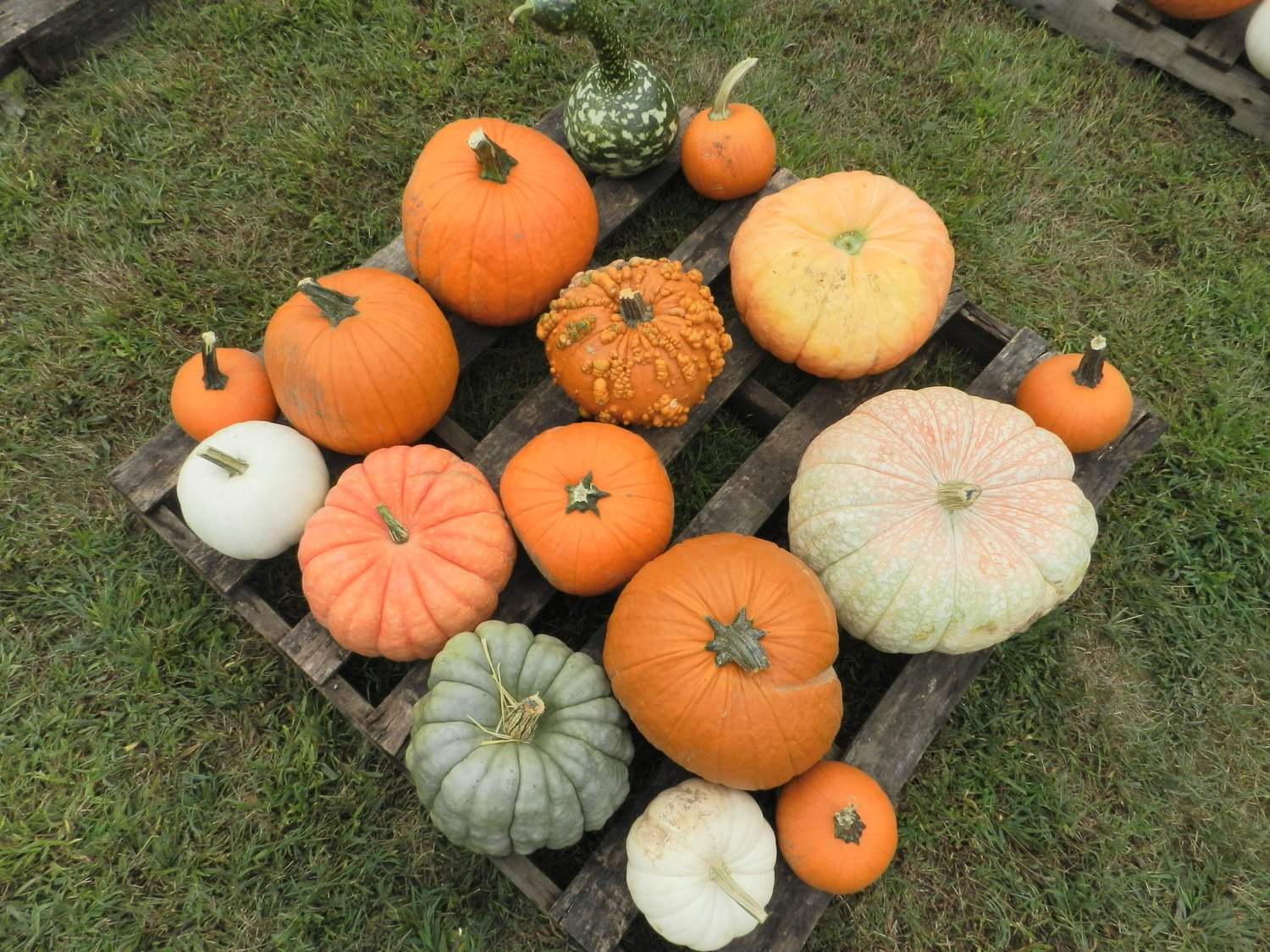 A palette of pumpkins in the field.