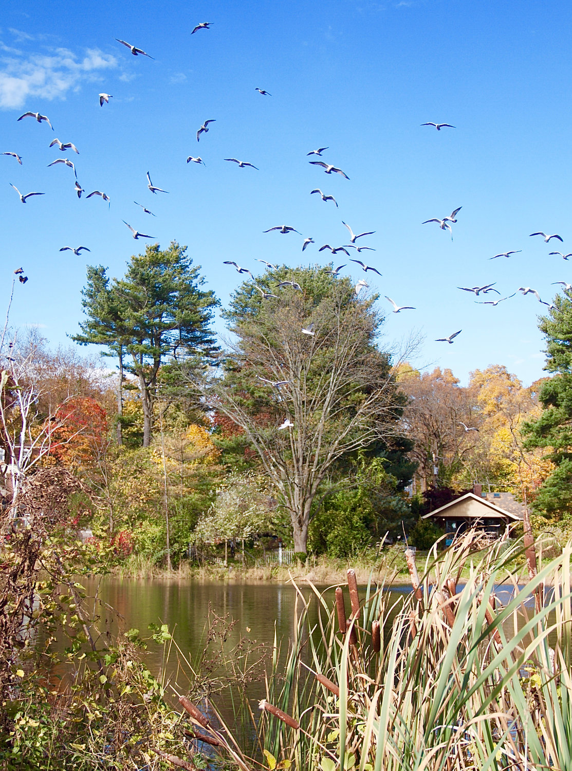 A flock of seagulls soars above Scudders Pond.