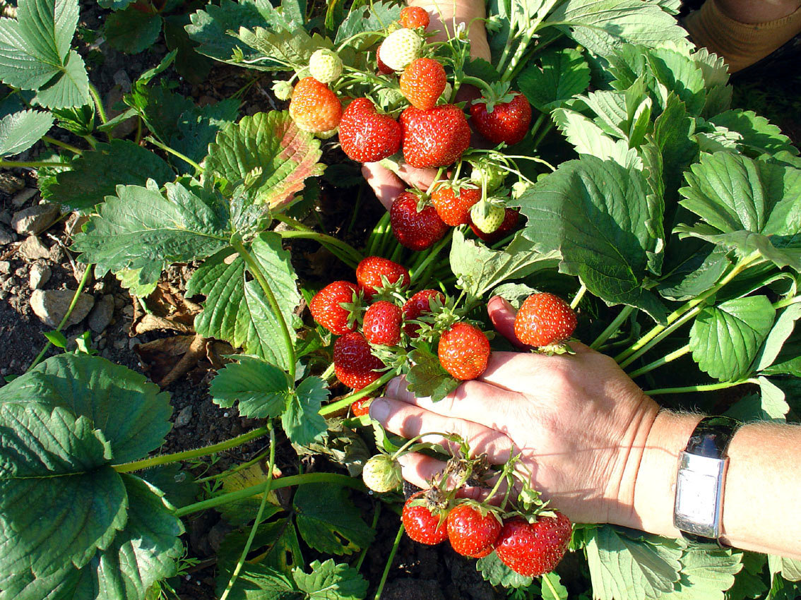 Atlantic Beach residents will have the opportunity to plant, tend to and harvest strawberries, as well as other fruits and vegetables at their soon-to-be-built community garden.