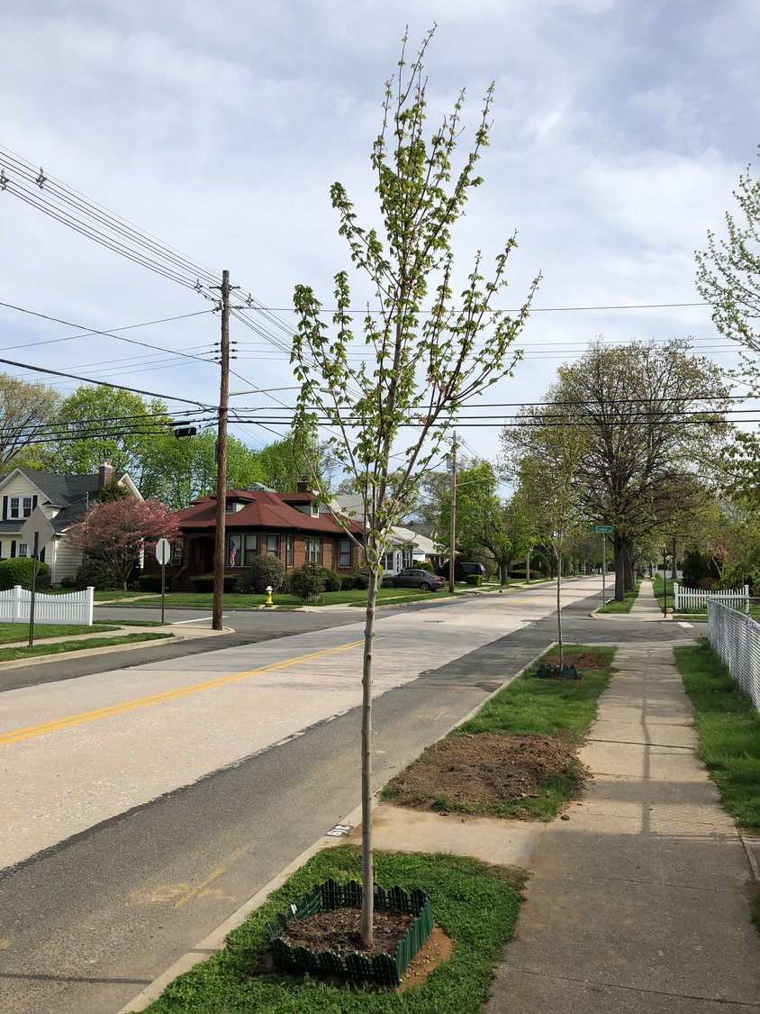 About 50 of the 175 trees removed were replanted last spring through an initiative by the RVC Conservancy.