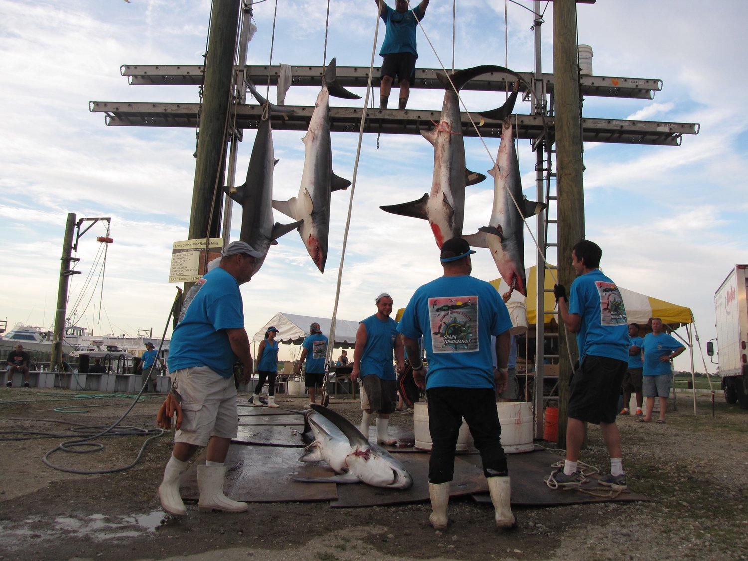 Tournament volunteers will start weighing and measuring sharks as the boats arrive at the Guy Lombardo Marina at 6 p.m. on June 15.