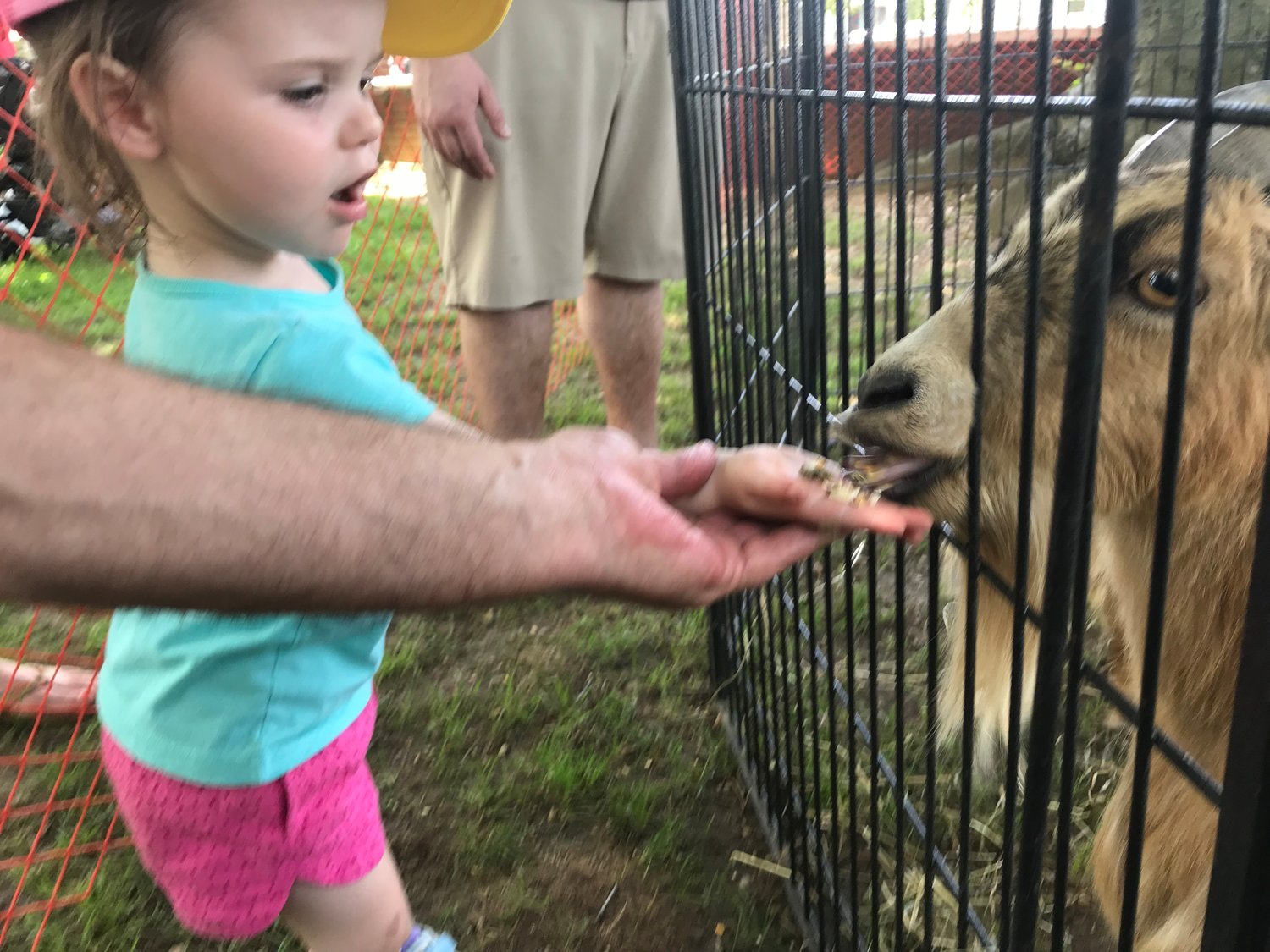 Finley, 2, fed a goat at the petting zoo.