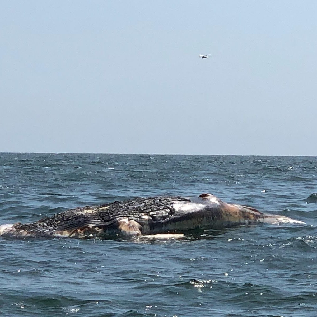 A dead humpback whale washed up in Long Beach on Friday evening.