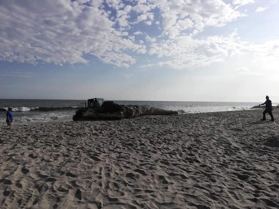 Officials said that they were formulating a plan to remove the animal from Laurelton Boulevard beach on Saturday morning.