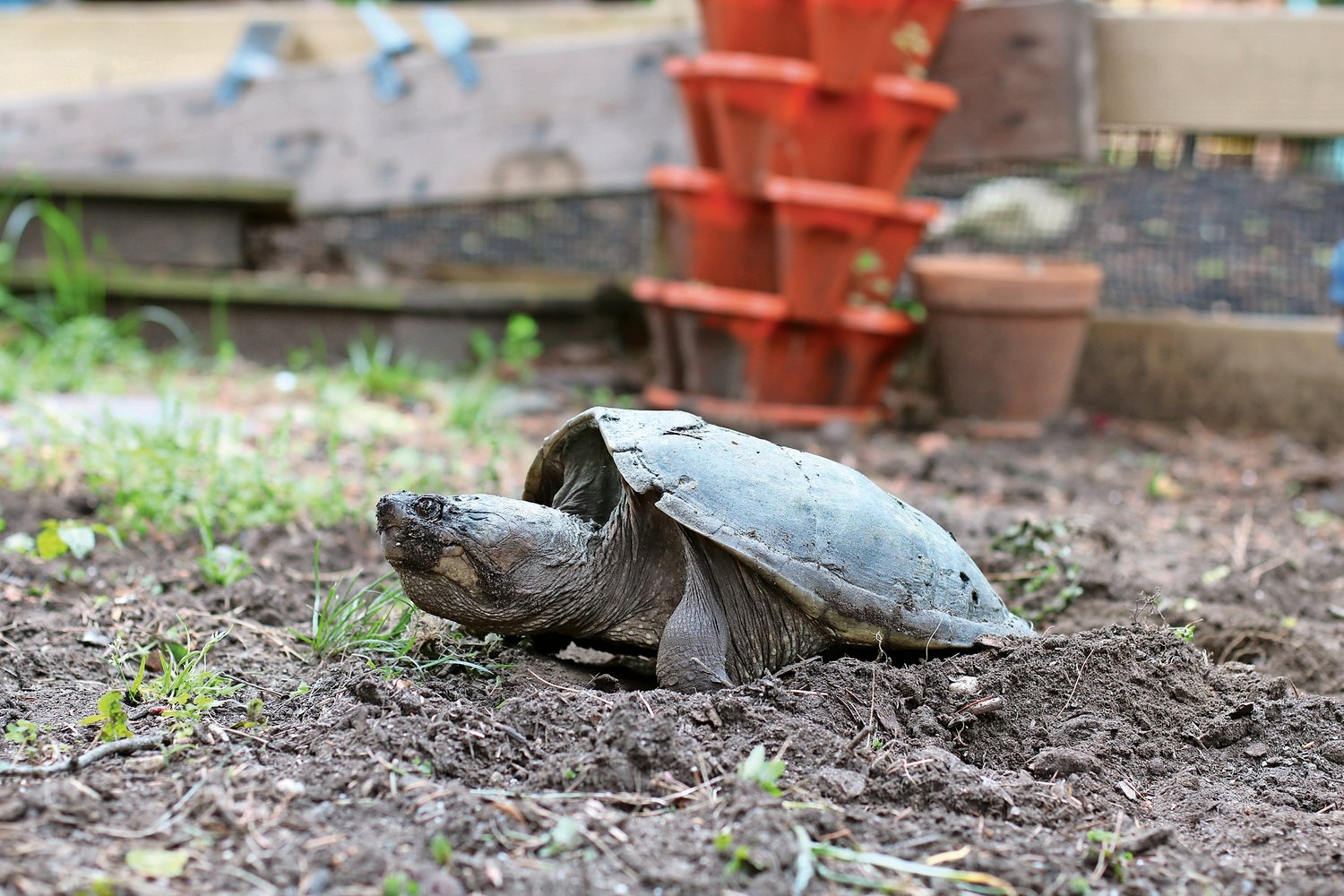 The mother turtle initially laid the eggs in Christine Reidy's side yard in June.