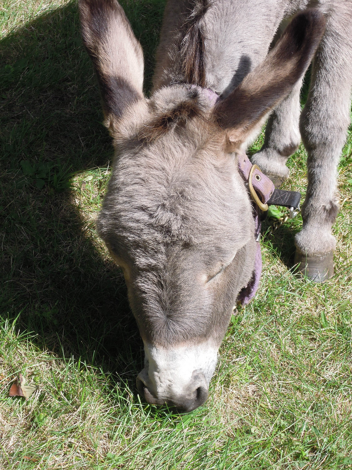Lola the donkey taking a much-deserved  break during the annual  fair.