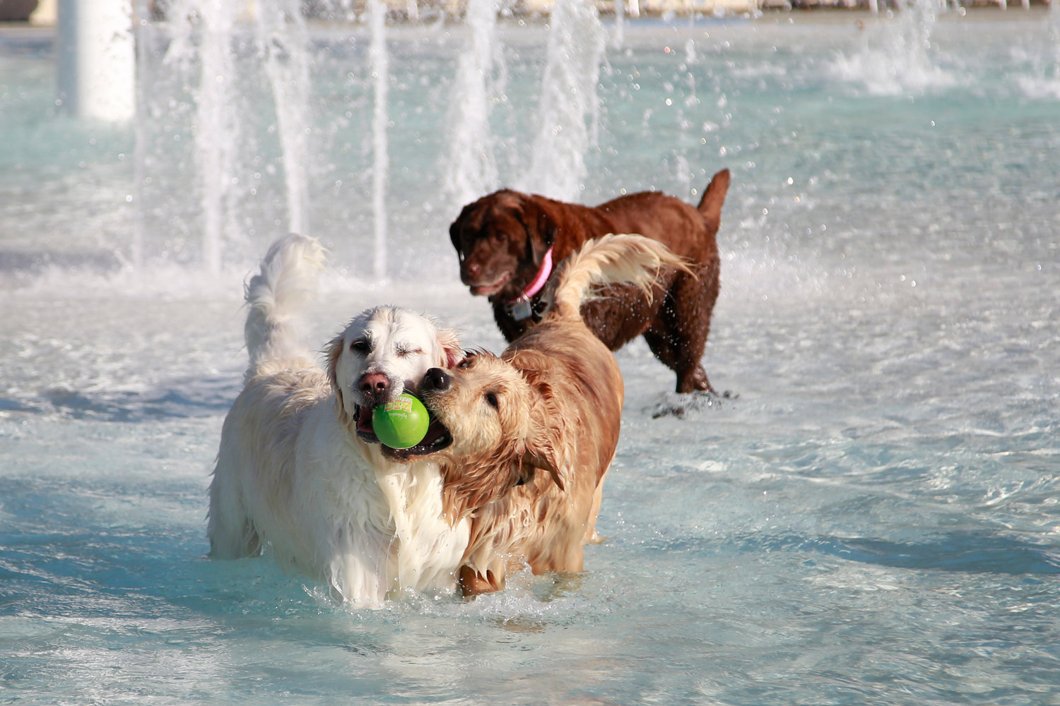 Bella, a chocolate lab watched as retrievers Max and Murphy jockeyed over a ball.