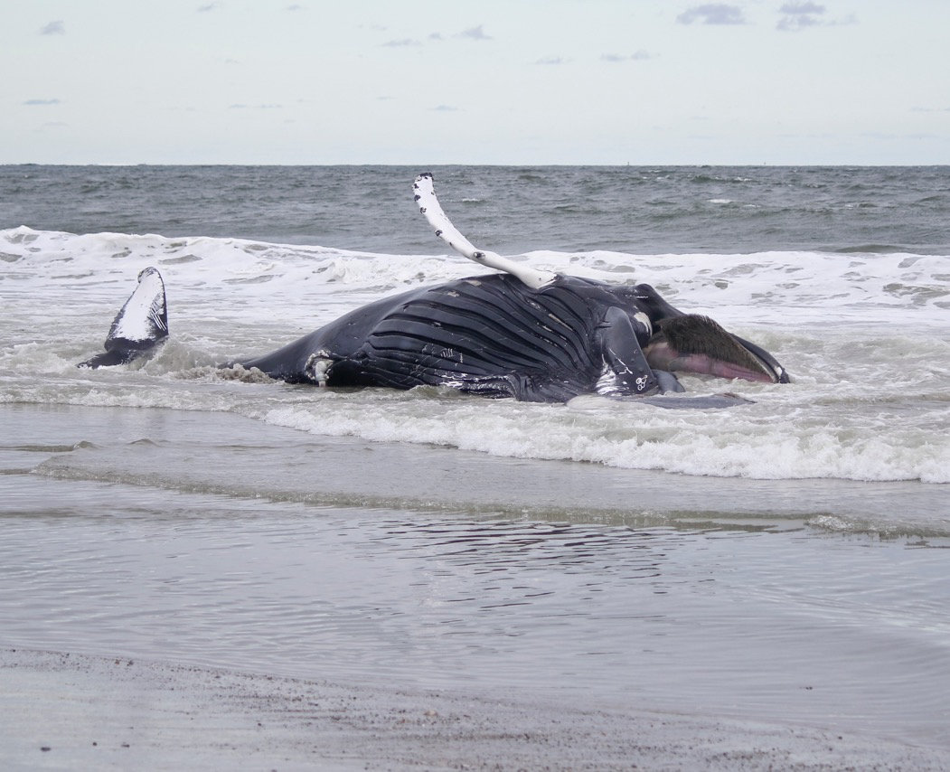 A dead humpback whale washed up ashore at Lido Beach Town Park West on Sept. 30.
