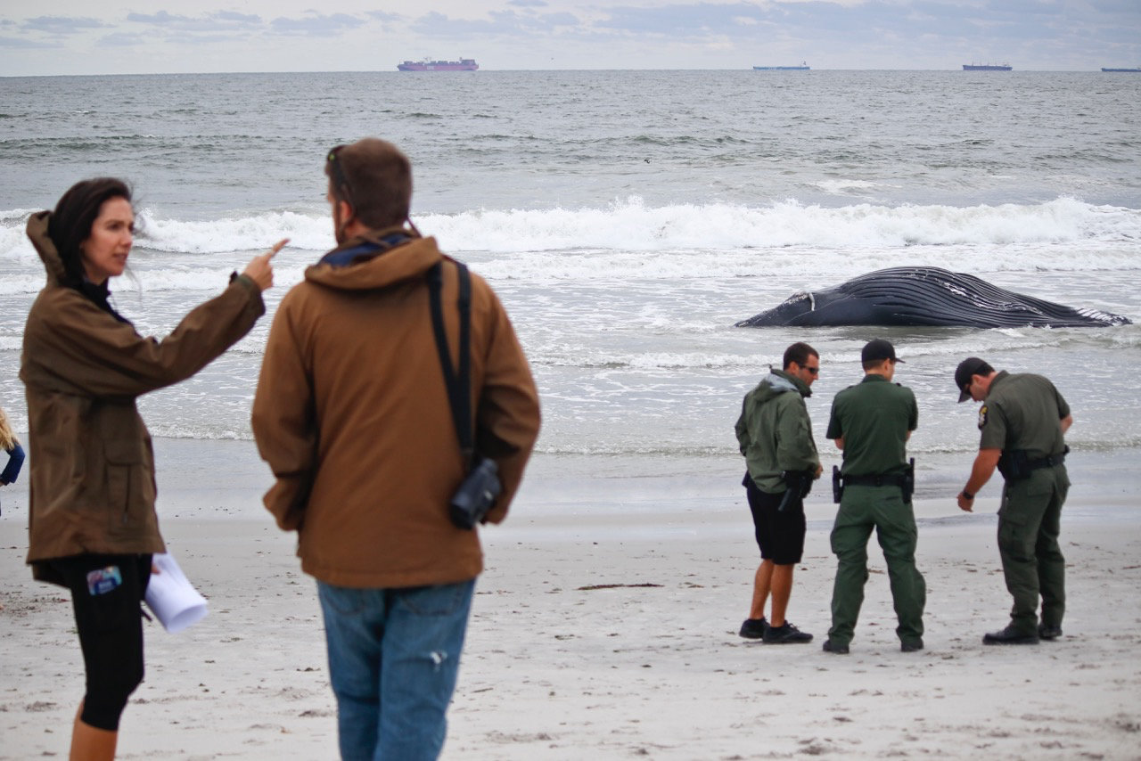 Several agencies worked together to secure the humpback whale from the shoreline in Lido Beach West Town Park, but the current moved it onto Long Beach the next day.