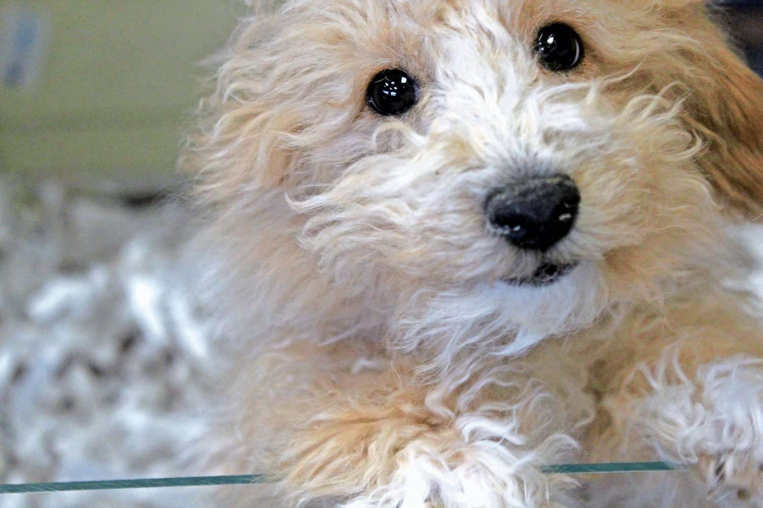Puppy Love sells puppies from breeders, and not from puppy mills.
