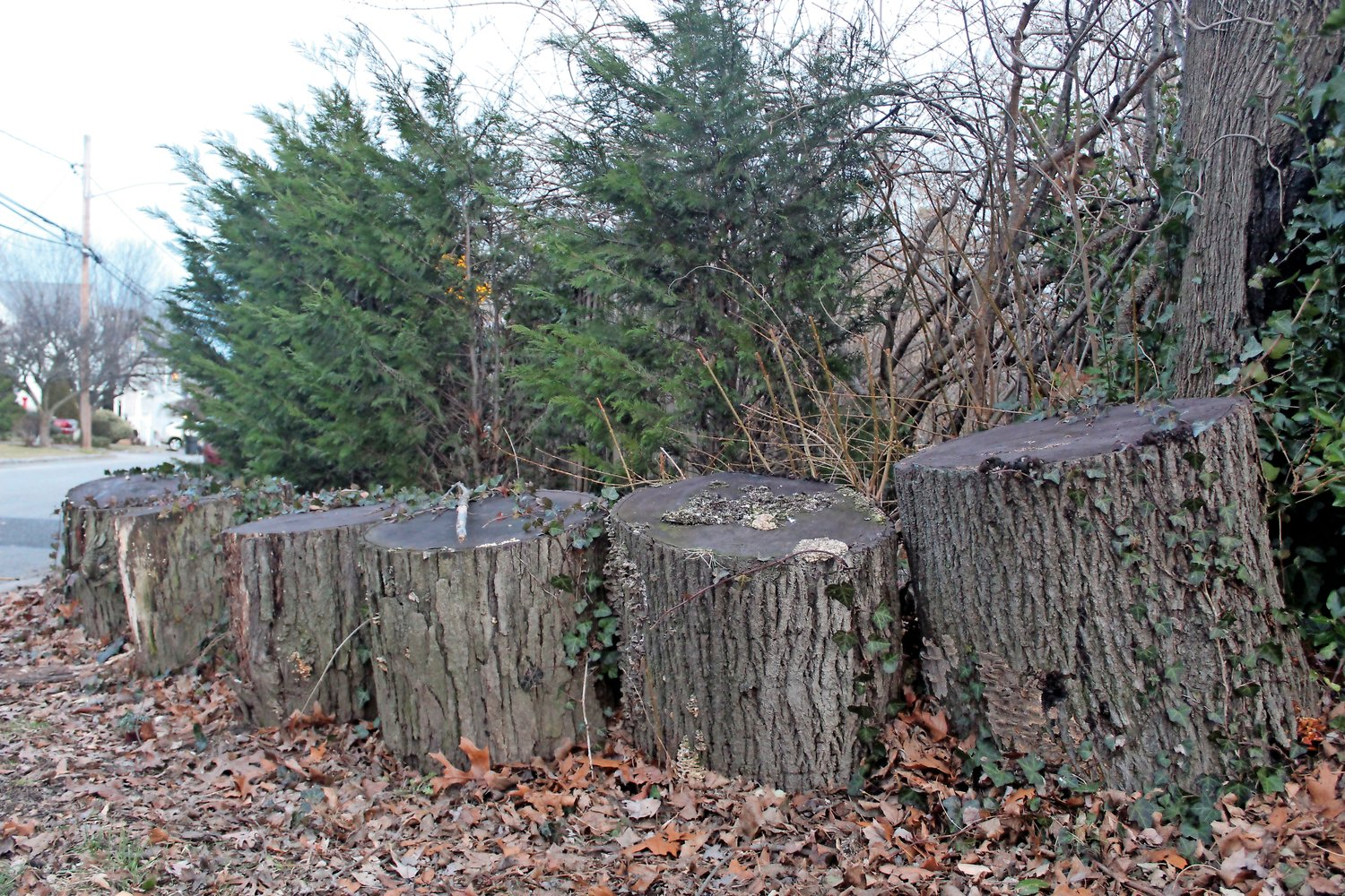 At the intersection of Abbot, Bangs and Olin avenues in Tiny Town, more than 30 trees were cut, leaving a horseshoe-shaped assemblage of stumps.