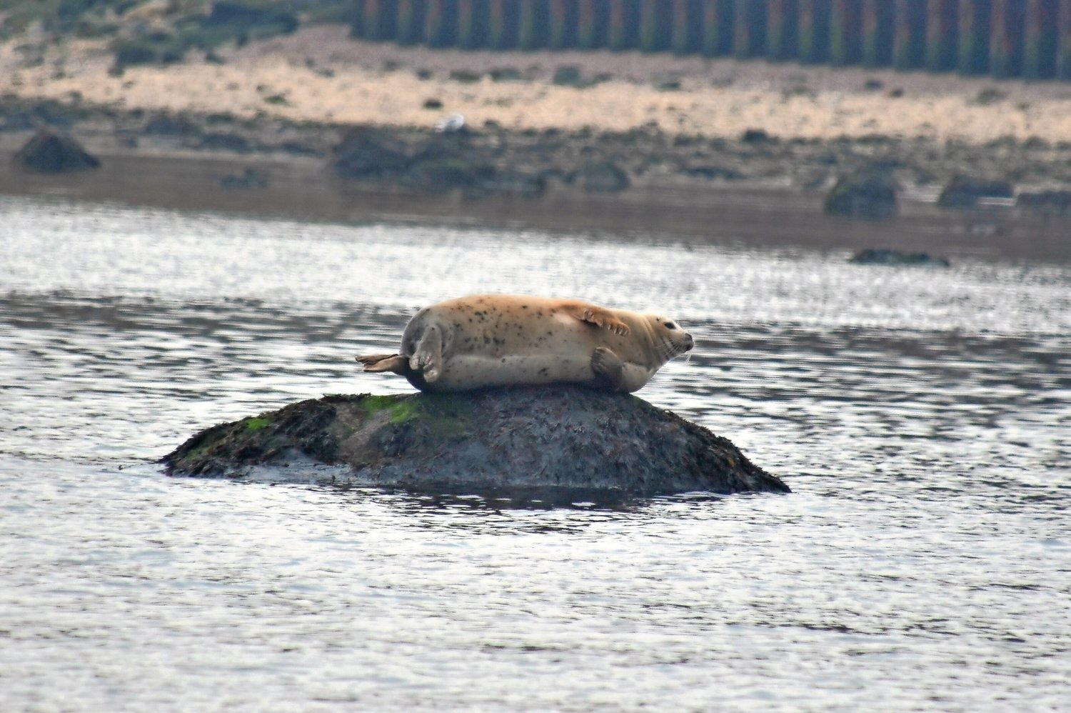 A seal sunning itself at Center Island Beach.