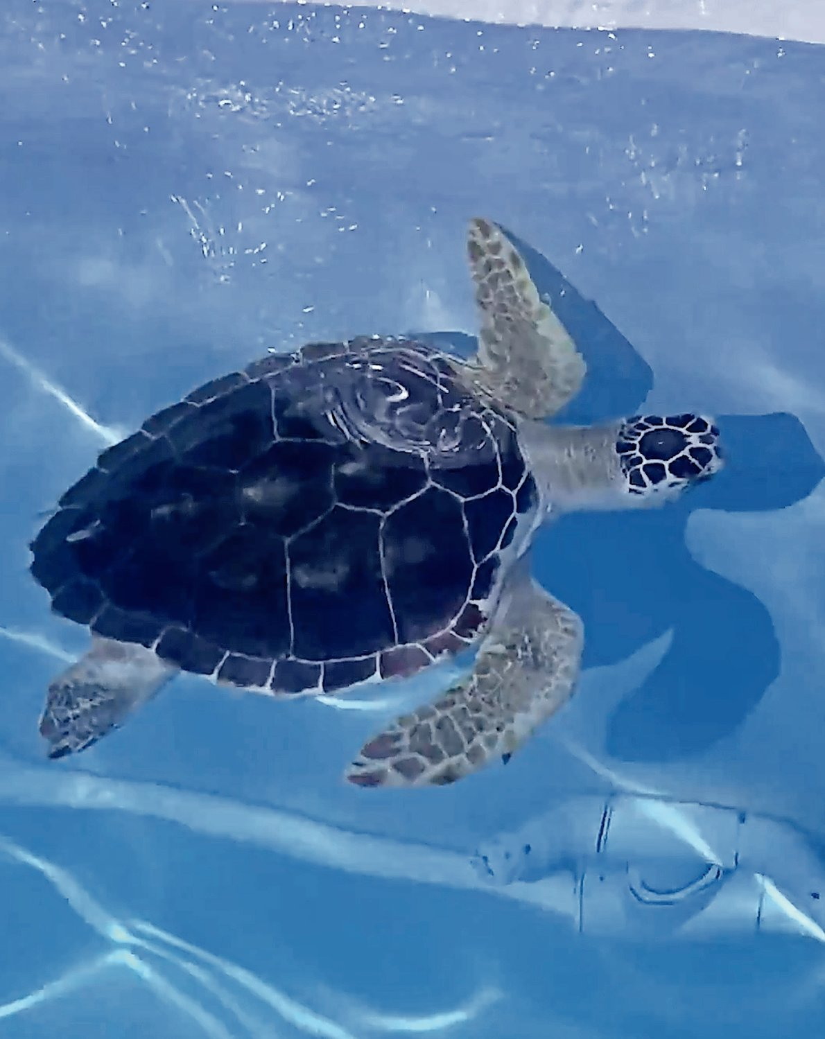Jonas E. Salk Middle School adopted a three-year-old loggerhead sea turtle named Snorkel from the Clearwater Marine Aquarium, in Clearwater Beach, Florida, thanks to Spanish Club advisers Kirsten Anderson and Veronica Miller.
