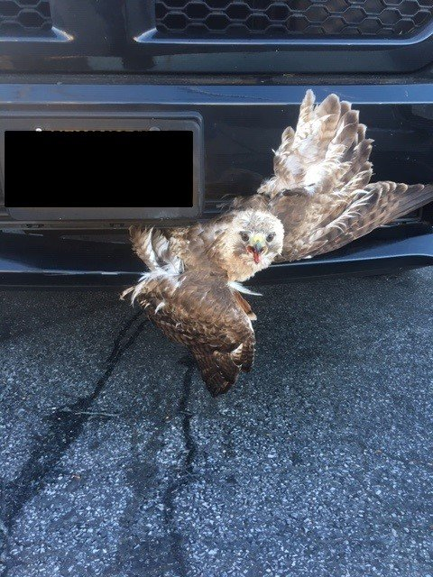 The hawk had been found stuck to the bumper of a car.