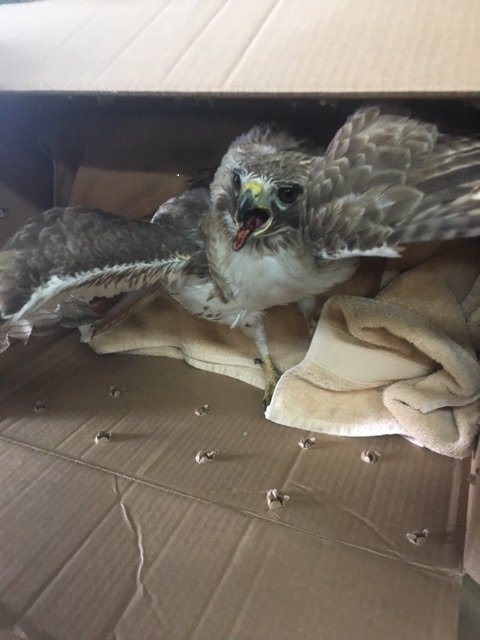 Marine Bureau officers rescued an injured red-tailed hawk and helped get it to Volunteers for Wildlife for treatment.