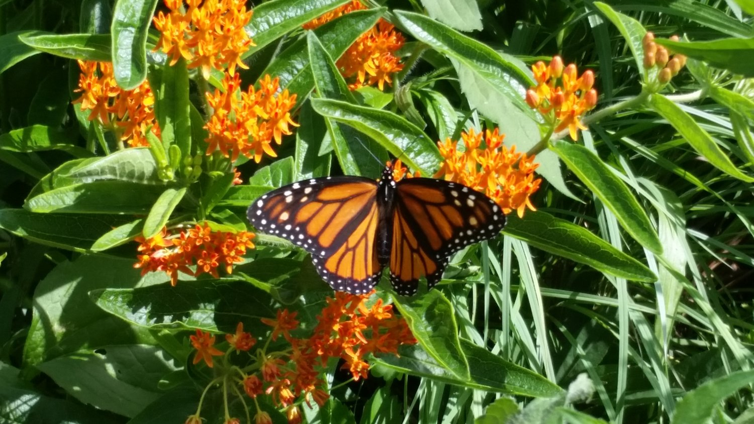 Marinello's garden attracts monarch butterflies.