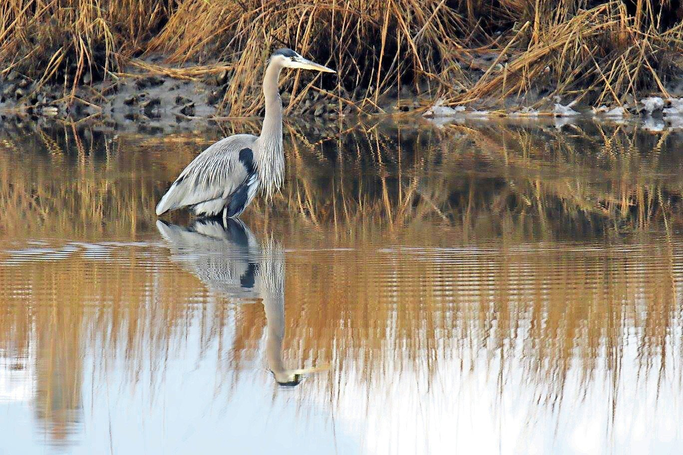 Great blue herons can be frequently spotted there.