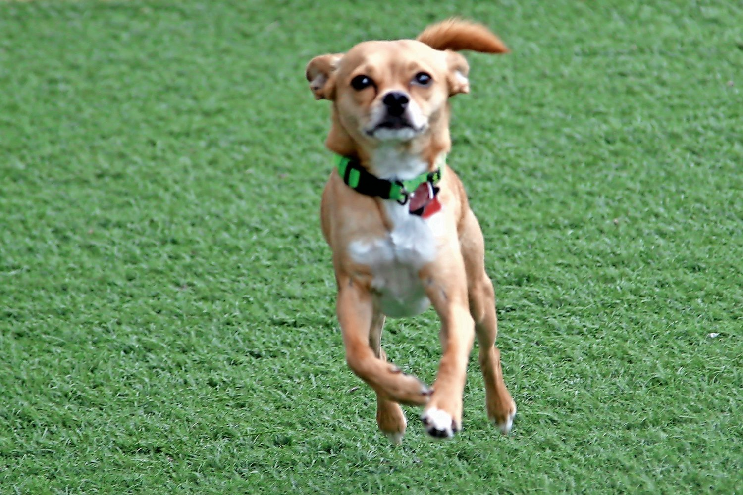 Thor, a Pomeranian-Chihuahua mix, ran around the Valley Stream dog park in 2017.