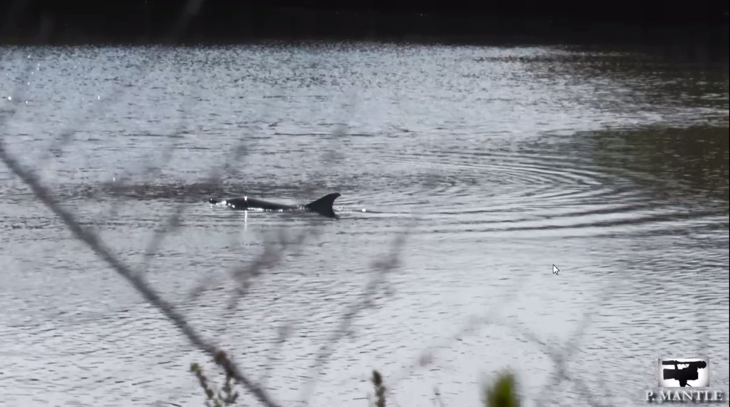 A dolphin has been spotted on Mill River in East Rockaway.