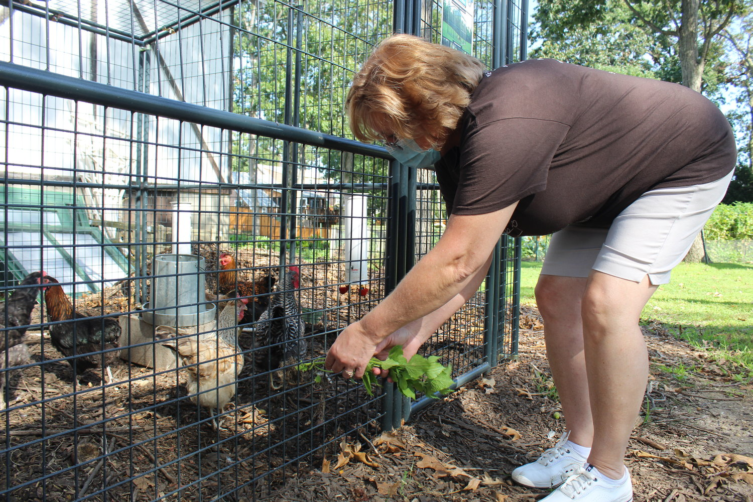 Black, of North Bellmore, fed some leafy greens to the chickens at St. Francis Episcopal Church.